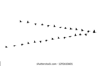 Flying birds flock in the sky, triangle of geese in the autumn vector illustration on transparent background