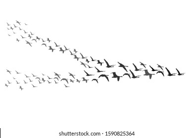 Flying birds. Vector image. Migrating swans. White background.