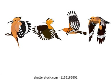 Flying cute bird. Vector image. Bird: Eurasian Hoopoe. Upupa epops.