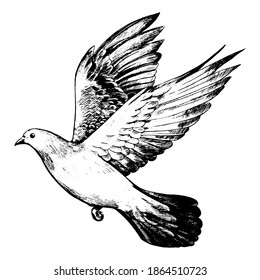 Flying dove, pigeon. Realistic ink sketch of wild bird. Hand drawn vector illustration in vintage, engraving style. Black contour element isolated on white, for design, print, card, decor, tattoo etc.