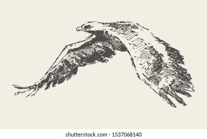 Flying eagle. Hand drawn vector illustration, sketch