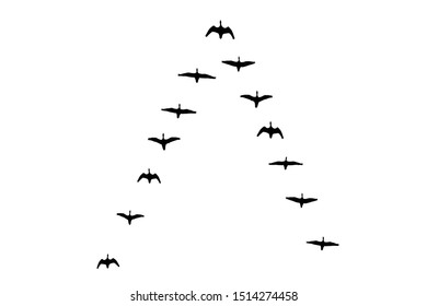 Flying flock of geese in the autumn. Triangle of birds in the sky.