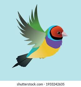 Flying gouldian finch bird on a blue background