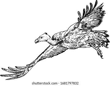 A flying Griffon vulture bird, scientifically know as Gyps fulvus. Hand drawn vector illustration.