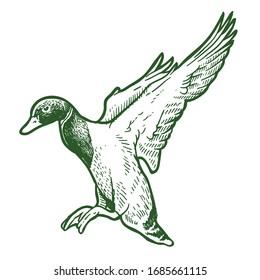 flying mallard duck hand drawing