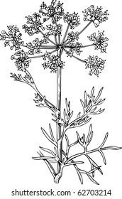 Foeniculum (Flowering fennel)