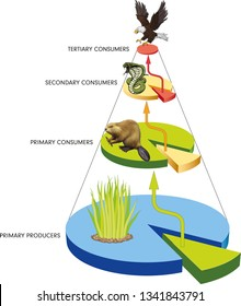 Food chain, Energy flow within an ecosystem