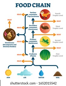 Food chain vector illustration diagram. Biological life science. Heat and energy transforming between natural producer and consumer stages. Herbivores, carnivores and detritivore decomposer processes.