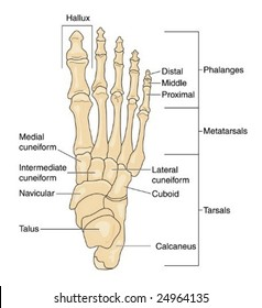 Foot Bones Images Stock Photos Vectors Shutterstock