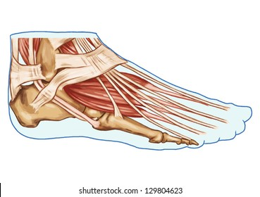 foot muscles and tendons � anatomy of leg and foot human muscular system