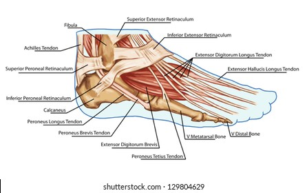 Foot Ligaments Images Stock Photos Vectors Shutterstock