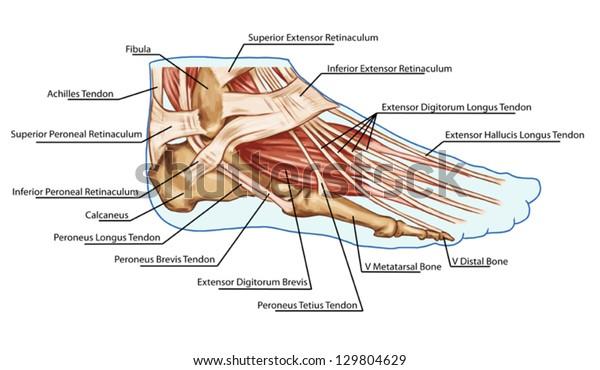 Foot Muscles Tendons Anatomy Leg Foot Stock Vector Royalty Free 129804629