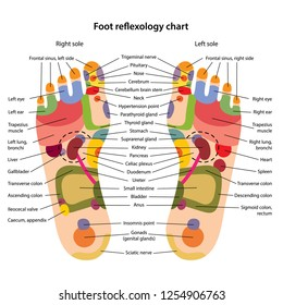 Foot reflexology chart with description of the corresponding internal and body parts. Acupuncture points on the foot. Vector illustration over white background.