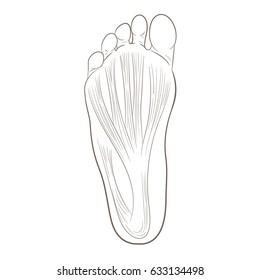 Foot sole illustration for biomechanics, footwear, shoe concepts, medical, health, massage and spa centers etc. Plantar fascia, aponeurosis. Monochrome vector contour isolated on white.