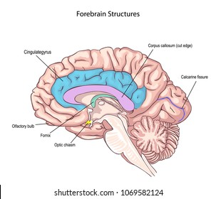 Forebrain Structures. medial surface of the brain. memory storage.