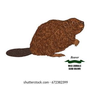 Forest animal beaver. Hand drawn colored sketch on white background. Vector illustration vintage.