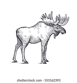 Forest animal moose. Hand drawing sketch black ink isolated on white background. Vector art illustration. Vintage engraving style. Nature objects of Wildlife mammals.