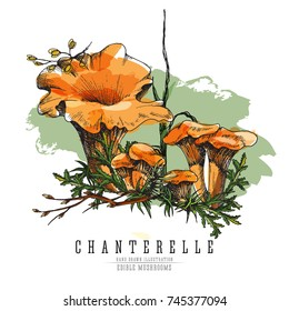 Forest chanterelles at undergrowth vector color illustration in sketch and watercolor imitation style. All element isolated.