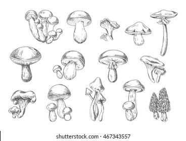 Forest mushrooms sketch of edible chanterelle, king bolete, honey agaric, portobello, porcini, morel, cep and poisonous death cap and amanita muscaria mushrooms. Recipe book, healthy food design