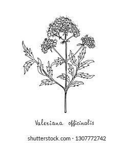 Forest plant. Valerian. Vector illustration.
