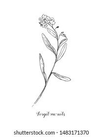 Forget me not vector botamical line art in Vintage style. Black and white hand drawn illustration.
