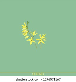 Forsythia.Spring flowers. Yellow flowering shrub. Garden plants. Botanical illustration. Yellow spring forsythia branches.