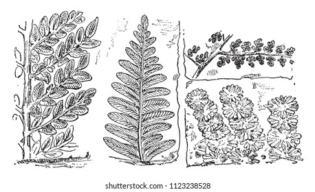 Fossil Plants of the Coal Period, vintage engraved illustration. From Natural Creation and Living Beings.