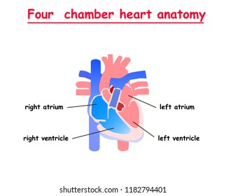 four chamber heart anatomy. Heart human anatomy info graphic. atrium, ventricle in heart.