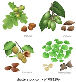 Four nuts with plant and peeled kernels / There are oak nuts, pili nuts, beech nuts and water caltrop