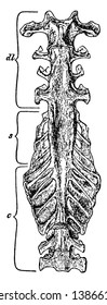 Fowl Sacrum natural size seen from below, vintage line drawing or engraving illustration.