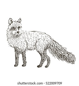 Fox sketch. Hand drawn vector illustration.