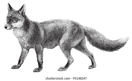 Fox (Vulpes vulpes) / vintage illustration from Meyers Konversations-Lexikon 1897