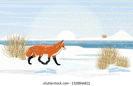 Fox is walking in the snow on the river bank. Spring, melting ice, dry grass. Wild animals of Europe, Asia, America, Scandinavia and Canada. Realistic Vector Landscape