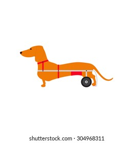 Foxy colored dachshund with hind legs on wheelchair isolated on white background