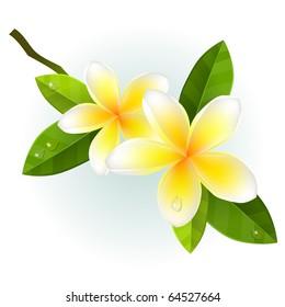 Frangiapani flowers isolated on white background