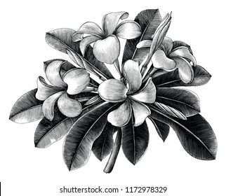 Frangipani flowers hand draw vintage engraving clip art isolated on white background