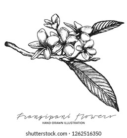 Frangipani flowers hand drawn ink illustration. Vector black and white drawing of plumeria flowers with leaves
