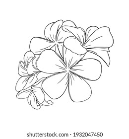 Frangipani or plumeria tropical blossom. Engraved hawaiian frangipani isolated in white background. Outline vector illustration