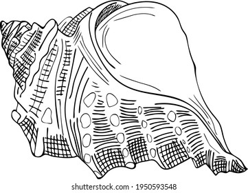 Free hand vector sea shell pattern isolated. Line art gastropod conch shell.