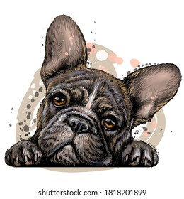 French bulldog. Wall sticker. Color, vector drawing portrait of a French bulldog puppy in watercolor style on a white background. Separate layer. Digital vector drawing