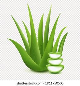 Fresh Aloe Vera Sliced Aloe Vera Isolated On Transparent Background With Gradient Mesh, Vector Illustration