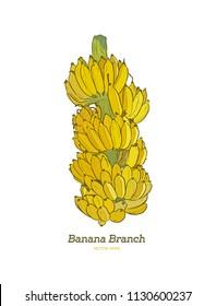 fresh banana branch, whole banana .hand draw sketch illustration vector.