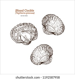 Fresh blood cockle or blood clam (Tegillarca granosa), Hand draw sketch vector.