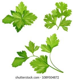 Fresh coriander or cilantro herb
