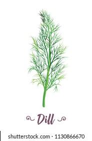fresh dill herb drawing