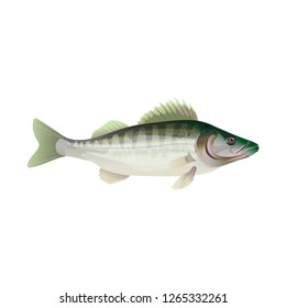Fresh fish. Zander. Pike perch. Walleye. Vector illustration isolated on white background