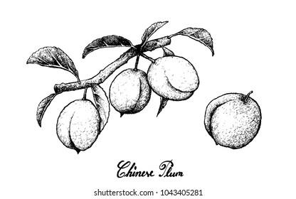 Fresh Fruits, Illustration of Hand Drawn Sketch Chinese Plum, Japanese Plum or Prunus Salicina Fruits Isolated on White Background.