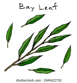 Fresh Green Bay Leave Branch. Twig with Leaves. Background with Aromatic Herb. Fresh Cooking Ingredient. Meat, Soup, Main Course Spice. Realistic Hand Drawn Illustration. Savoyar Doodle Style.