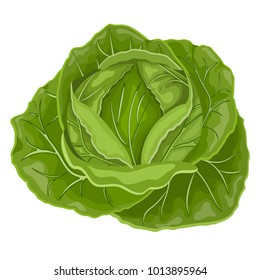 Fresh green cabbage vegetable isolated. cabbage for farm market, vegetarian salad recipe design.