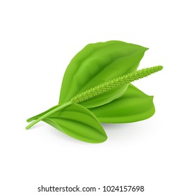 Fresh Green Leaves of Plantain (Plantago Major or Soldiers Herb) Natural Herb Cosmetic Plant on White Background